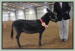 Circle C Synsation, Champion High Point Miniature In-Hand Gelding in Tennessee!
