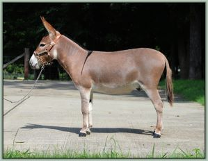 Champion High Point Miniature Halter Yearling Jack, Lil Rascals Crimson Moon