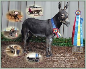 Schmitt's Chloe, Champion High Point Miniature In-Hand Jennet in Tennessee!
